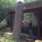 Large Cottonwood Removal