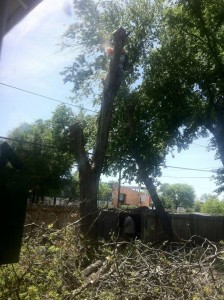 Large Hackberry Removal