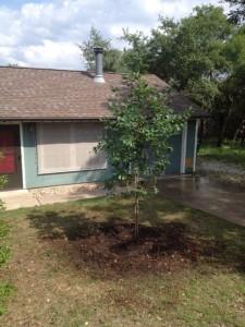 30 gallon Monterrey Oak planting
