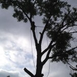 Large Cottonwood Removals