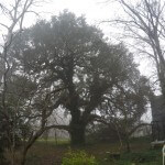 Pruning a very large, heritage Live Oak!