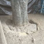 "ROOT COLLAR EXPOSURE/EXCAVATION This Pecan located on the back patio of ""Stay Gold"", a bar located on East Cesar Chavez, is in the midst of having it's Root Collar Exposed."