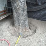 "ROOT COLLAR EXPOSURE/EXCAVATION Pecan at ""Stay Gold"" bar in the midst of the Root Collar Exposure process."