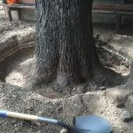 "ROOT COLLAR EXPOSURE/EXCAVATION Pecan at ""Stay Gold"" bar with exposed Root Collar."