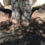 ROOT COLLAR EXPOSURE/EXCAVATION Live Oak prior to Root Collar Exposure process.