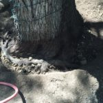 "ROOT COLLAR EXPOSURE/EXCAVATION In the midst of exposing this Root Collar, a ""girdling"" or choking root is found around the base of the Live Oak.  This root will be removed to allow the tree to property function without the root inhibiting the trees ability to move needed water and nutrients from the root system to the canopy."