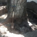 "ROOT COLLAR EXPOSURE/EXCAVATION A sharp-shooter shovel was used to provide scale for the size of the tree.  The ""girdling"" or choking root is also no longer present at the base of the tree."
