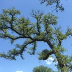 DROUGHT STRESS This Live Oak is showing signs of drought stress as indicated by the thinning canopy above and the dead branch tips.  The symptoms above show branch-tip die-back and poor shoot elongation.  This tree is a great candidate for a sound healthcare maintenance program geared to promote increased root development and increase overall tree health & vigor.