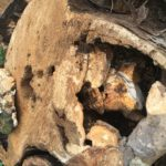 "Trunk section of a highly decayed Cottonwood tree that was removed.  The ""conks"" or mushroom fruiting bodies are seen on top of and inside the trunk section.  Wood decaying fungi can cause structural degradation inside the tree, deeming it a hazard.  This customer was lucky the tree did not fail in a storm or high winds."